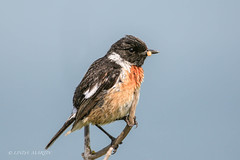Male Stonechat (Linda Martin Photography) Tags: canoneos5dmarklll birds male saxicolatorquata stonechat uk isleofwight coth ngc npc