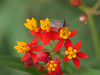 stinkbug 1 (foxtail_1) Tags: hahnhorticulturegarden hahngardens hahngarden butterflyweed asclepiastuberosa stinkbug