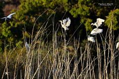 Bubulcus ibis e B. I coromandus (Jos M. F. Almeida) Tags: odeceixe portugal algarve costa vicentina garaboieira carraceiro bubulcus ibis b i coromandus ave birds