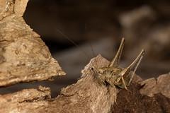 Dark bush cricket (Jens Hyldstrup Larsen) Tags: buskgrshoppe darkbushcricket pholidopteragriseoaptera grshopper orthoptera lvgrshopper tettigoniidae