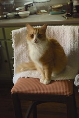 Jimmy in the very tall chair. (rootcrop54) Tags: jimmy orange ginger tabby male cat chair kitchen silly boy macska kedi  koka kissa  kttur kucing gatto  kais kat katt katzen kot  maka maek kitteh chat