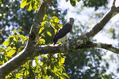 Lesser Fish-Eagle (christopheradler) Tags: malaysia lesser fisheagle icthyophaga humilis