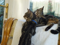 Masai and Mara ! (Mara 1) Tags: cats kittens pets animals indoors tabby stripes black grey fawn coat fur face ears