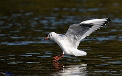 Black headed Gull. (spw6156 - Over 5,124,370 Views) Tags: black headed gull iso 640cropped copyright steve waterhouse summerwatch