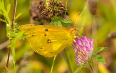 7K8A9886 (rpealit) Tags: scenery wildlife nature mahlon dickerson reservation snow bowl jefferson twp orange sulphur butterfly