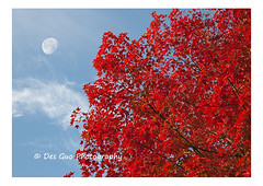Colors of Fall (PhotoDG) Tags: maple tree leaf fall season nature moon vancouver metrovancouver canada sky cloud colorsoffall