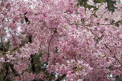 IMG_0652 (gsreejith) Tags: spring springblossom blossom flowers breenholdgardens mountwilson mtwilson nsw visitnsw