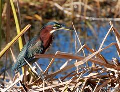 Green Heron (George Case, Kountry Roads Imaging) Tags: nature birds nikon melbourne case d80 nikkor70300mm vierawetlands kountryroadsimaging blinkagain georgecase