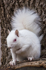 Albino Gray Squirrel (Douglas Caldwell) Tags: squirrel albino twincities bestcapturesaoi elitegalleryaoi mygearandme mygearandmepremium mygearandmebronze mygearandmesilver mygearandmegold blinkagain