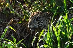 Jaguar (Ian.Kate.Bruce's Wildlife) Tags: brazil southamerica animal wildlife jaguar pantanal pantheraonca ianbruce katebruce flickrbigcats anythingnikonexceptpeople