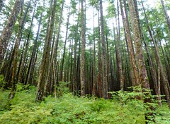 Trees in the Tongass Rainforest (sunshinegurl2) Tags: trees alaska forest tongass