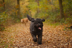 I'm on my way!!!! (Gryphes) Tags: autumn dog love puppy happy woods forrest leafs bouvier valentino highqualitydogs