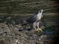 Peale's Peregrine - Bodega Bay 2573 (Len Blumin) Tags: video peregrinefalcon falcoperegrinuspealei falcoperigrinus pealesfalcon