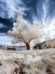 Mighty Tree. (Grimer666) Tags: street red panorama white tree leaves ir pov streetphotography micro infrared converted toulouse infra method brenizer m43 14mm mft woodeffect lifepixel convertedir epl1 micro43 microfourthirds brenizermethod thebrenizermethod 14mmpancake 14mm25 lumix14mmf25
