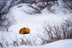 Red Fox Sleeping on Snow (Free Roaming Photography) Tags: winter snow canada cold ice animal fur relax mammal frozen sleep wildlife tail freezing manitoba tired freeze fox churchill northamerica rest curl curledup redfox subarctic