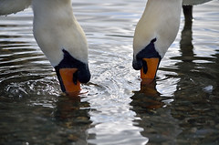 RIPPLES (DESPITE STRAIGHT LINES) Tags: england lake water birds swan ripple lakedistrict beak feathers drinking swans cumbria ripples coniston thelakes beaks whiteswan thelakedistrict conistonwater whiteswans lakedistrictcumbria rideawhiteswan nikongp1 nikond7000 apairofswans nikon55300mmvr conistonboatlaunch ilobsterit