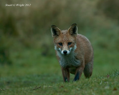 Red Fox (Stuart G Wright Photography) Tags: wildlife cannock chase staffordshire redfox wwwstuartgwrightcom