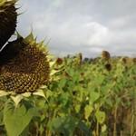 October sunflowers thumbnail