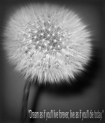 Dream... (Bob T...) Tags: flowers blackandwhite white black flower nature floral closeup washington soft flickr pretty die close live n bob dandelion if dreamy forever bobthompson blacknwhite today asteraceae thompson serif perennial sans deam youll taraxacum herbaceous lionstooth thegalaxy as erythrospermum rememberthatmomentlevel1 rememberthatmomentlevel2