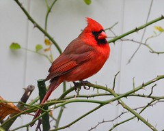 Storm Survivor (McDuck17) Tags: bird nature wings backyard cardinal feathers nj bayonne malecardinal redbird northerncardinal allofnatureswildlifelevel1 allofnatureswildlifelevel2 allofnatureswildlifelevel3