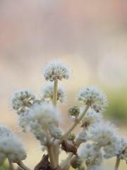 Japanese Aralia (Polotaro) Tags: flower nature pen olympus   zuiko ep1    gzuiko50mmf14