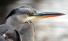 J77A0645 -- Face of a Blue Heron (Nils Axel Braathen -- Thanks a lot for +200K views) Tags: france heron nature birds canon wildlife blueheron soe fugler oiseaux levsinet hegre fantasticnature vogeln mygearandme mygearandmepremium mygearandmebronze mygearandmesilver mygearandmegold mygearandmeplatinum mygearandmediamond blinkagain rememberthatmomentlevel4 rememberthatmomentlevel1 rememberthatmomentlevel2 rememberthatmomentlevel3 rememberthatmomentlevel5 vigilantphotographersunite vpu2 vpu3 vpu4 vpu5 vpu6 vpu7 vpu8