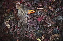 IMGP1728(CFX) (Mat W) Tags: morning november autumn leaves richmond richmondpark 2012 isabellaplantation colorefexpro