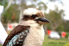 BLUE WINGED KOOKABURRA (Seaside-Mike) Tags: camping camp holiday bird beautiful animals closeup contrast pentax wildlife beak feathers style australia scout scouts kingfisher hunter bluebird southaustralia woodhouse tame claws scouting feathered talons bushcraft sea2side kkokaburra