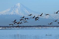 Miankale Peninsula! (starrypix) Tags: blue sea sky nature canon flying flamingo flight miankale miankaleh canon60d میانکاله ghamarynezhad ghamarinezhad me2youphotographylevel2 me2youphotographylevel3 me2youphotographylevel1 me2youphotographylevel4