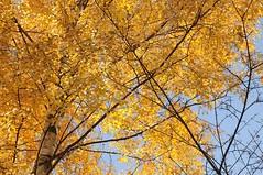 Birke voller Goldmnzen; Lingen, Dieksee GS8_8876 (Chironius) Tags: autumn trees tree germany deutschland see rboles herbst herfst boom arbres rbol alemania otoo birch bjrk albero autunno bume allemagne arbre rvore baum hst trd germania birke betula bouleau emsland lingen jesie  aa niedersachsen   betulaalba  dieksee abedul betulaceae birken  betulia vidoeiro fagales rosids    efterret birkengewchse  gauerbach buchenartige laxten gauerbachsee  fabids