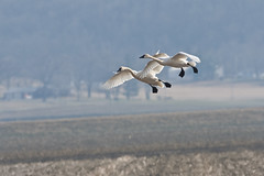 trump-2338 (wrightlight1) Tags: birds swan flight swans birdsinflight fowl migration waterfowl airborne birdbanding banded trumpeter trumpeterswan whistlingswan migratorybirds swansinflight northamericanwaterfowl visualbandedbirds visualbands