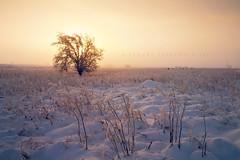 National tree week (5) (Stuart Stevenson) Tags: uk winter light sky orange mist snow tree fog backlight freezingfog landscape photography scotland countryside still moody tundra warmglow clydevalley canon1740 nationaltreeweek canon5dmkii stuartstevenson stuart stevensonthanksforlooking defyingthefactitwasfreezing