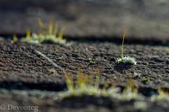 Bricks (for ODC) (devonteg) Tags: november macro leaf nikon dof bokeh bricks handheld icecrystals 2012 mosses odc sporophytes nikkor105mmf28gvrmicro d7000 ourdailychallenge imenjoyinghavingmyd7000backo