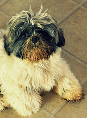 Bath Time! (Venusian Lady) Tags: dog cute smile puppy funny humor shihtzu adorable dirty laugh muddy