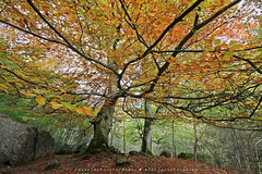 THE GUARDIAN OF THE ROAD (EXPLORER FRONT PAGE) (R a q u e l d e C a s t r o) Tags: autumn tree fall leaves forest beech cantabria hayas hayedo ason raqueldecastro parquenaturaldeloscolladosdelasn canoneos50dsigma1020f456
