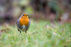 Red and proud (AlexandreJoffroy) Tags: life red wild bird nature robin animal fauna canon rouge eos breast gorge oiseau vie 2012 rougegorge sauvage faune 550d joffroy portfoliofauna