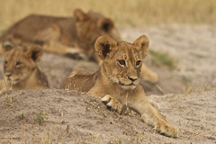 Cubs (paulafrenchp) Tags: africa safari zimbabwe hwange littlemakalolo