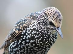 Stari. Sturnus vulgaris. Common Starling. (Lady in Blue 007) Tags: bird iceland starling fugl sland stari vulgaris sturnus