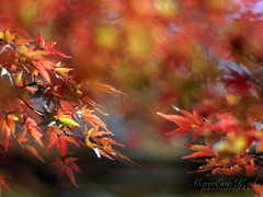 attitude (Marie Eve K.A. (Away)) Tags: autumn blur colour fall nature japan kyoto dof bokeh momiji mapleleaf tints shinnyodo  foliageseason