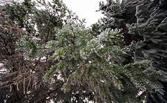 Evergreen Winter (DCZwick) Tags: park winter snow canada tree green calgary ice frost evergreen alberta ultrawide confederationpark conifer uwa sigma816