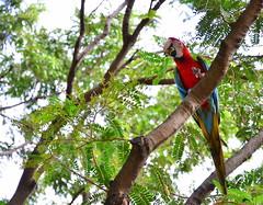 I'm free... (mimibarusa) Tags: nature birds animals parrot mauritius hybrid ara casela