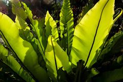 Sunlit (Jocey K) Tags: light holiday plant fern green singapore marinabay supertreegrove marinabaygardens