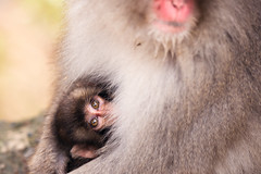 Mother (www.jasonarney.com) Tags: baby reflection japan relax monkey wildlife  onsen nagano saru hotsprings  snowmonkey   japanesemacaque yudanaka  snowmonkeys     jigokudanipark