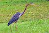 Purple Heron (Beegee49) Tags: heron elementsorganizer rememberthatmomentlevel1 freedomtosoarlevel1birdphotosonly