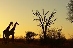 Giraffe at sunset (Arno Meintjes Wildlife) Tags: africa park camp wallpaper holiday color art nature animal animals closeup southafrica bush wildlife safari explore giraffe endangered animalplanet mammalia rsa krugernationalpark mpumalanga krugerpark carnivore birdwatcher excellence big5 naturelovers knp sanparks naturesfinest giraffacamelopardalis naturescall flickrsbest meintjes colorphotoaward arnomeintjes naturewatcher internationalgeographic naturesgreenpeace