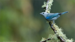 Blue-gray Tanager (Raymond J Barlow) Tags: blue light art nature costarica natural wildlife gray adventure workshop tanager 200400vr nikond300 raymondbarlowtours