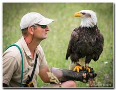 Watching (jdl1963) Tags: hawk conservancy trust flying flight bird prey bald eagle