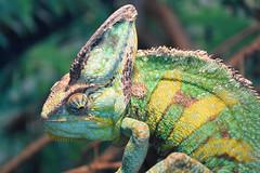 Veiled Chameleon (Bri_J) Tags: tropicalbutterflyhouse northanston sheffield southyorkshire uk yorkshire nikon d7200 veiledchameleon chameleon chamaeleocalyptratus