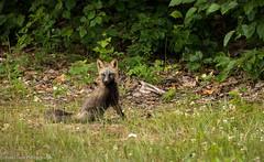 Cross Fox on Elmendorf JBER (rishaisomphotography) Tags: explored inexplore fox crossfox anchorage alaska wildlife wildlifephotography nature naturephotographer furry mammal colormorph northamerica