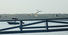 A Seagull Story 04 (smilla4) Tags: boat dock seagull flight maine merepoint maquoitbay